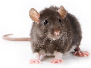 rat-Rat85